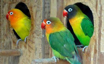 Lovebird Indukan agar ternak berhasil (saatchigallery.com)