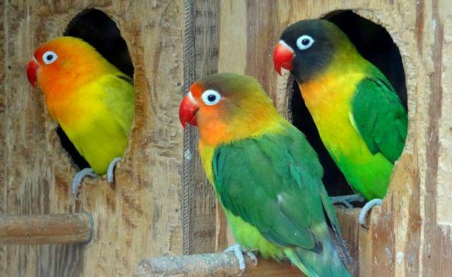 6 Cara Memilih Indukan untuk Ternak Lovebird yang Paling Tepat