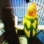 Lovebird Peterson adalah Lovebird semiran (burungnews.com)