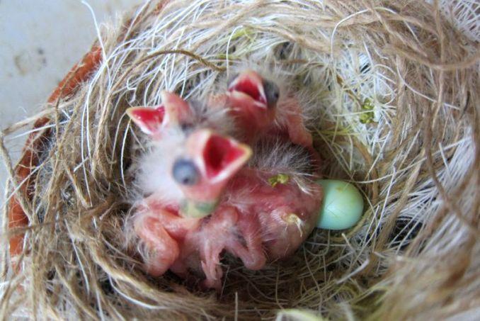 Telur Kenari menetas (canarytales.blogspot.com)