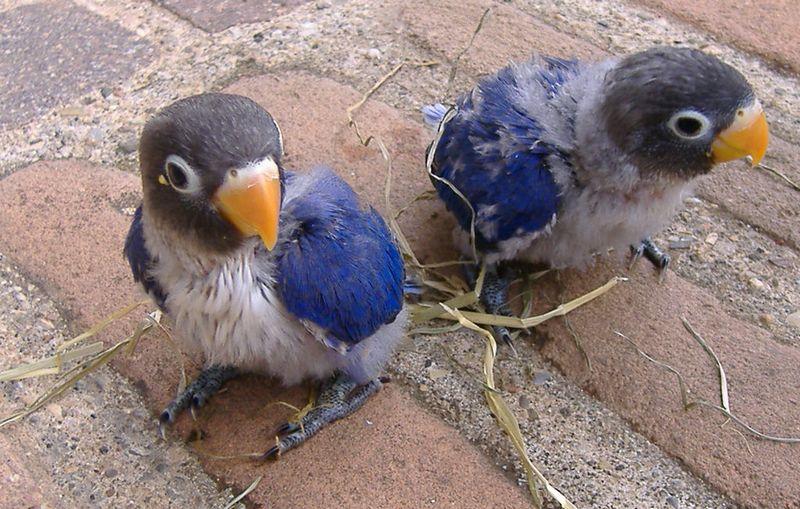 Cara Mencetak Lovebird Violet Lengkap dengan Harga dan Jenisnya