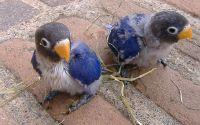 Cara mencetak Lovebird Violet (picssr.com)