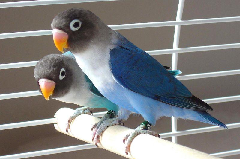 Lovebird Violet dan Lovebird Biru Mangsi (manabaz.xyz)