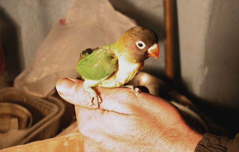 3 Setingan Tunggal Lovebird Paud Single Fighter