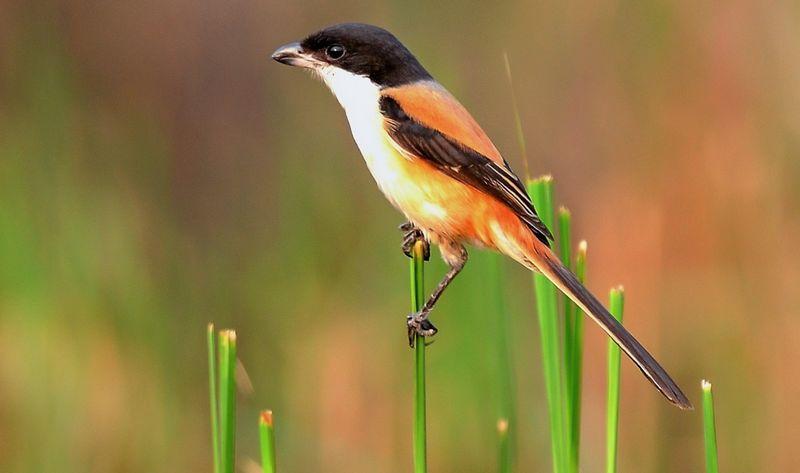 Cendet blangkon (worldbirdphotos.com)