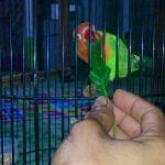 Cara Mengatur Birahi Lovebird Lomba dengan EF yang Tepat