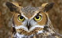 Telinga Unik Burung Hantu (youtube.com)