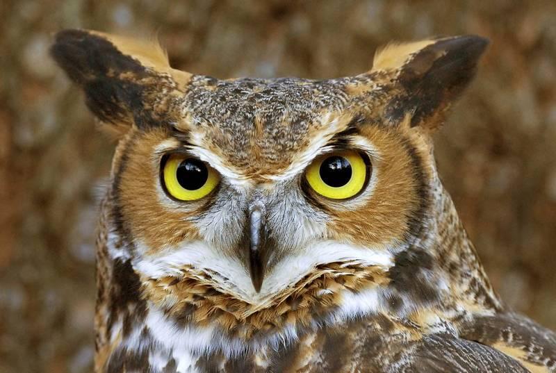Telinga Unik Burung Hantu yang Tidak Dimiliki Burung Lain