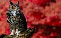Gambar Burung Hantu Bertanduk (allaboutbirds.org)