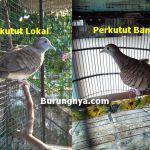 Perbedaan Perkutut Lokal dan Perkutut Bangkok (bukalapak.com)