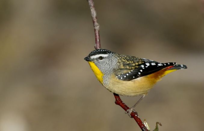 Burung Spotted pardalote (wikimedia.org)