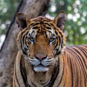 Tiger at Noahs Ark Zoo Farm Bristol