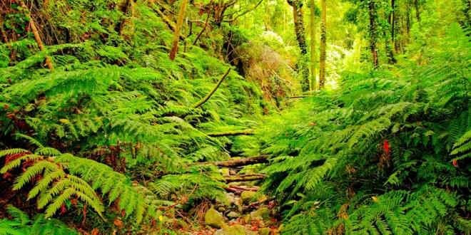 Bosque de Laurisilva de la Palma