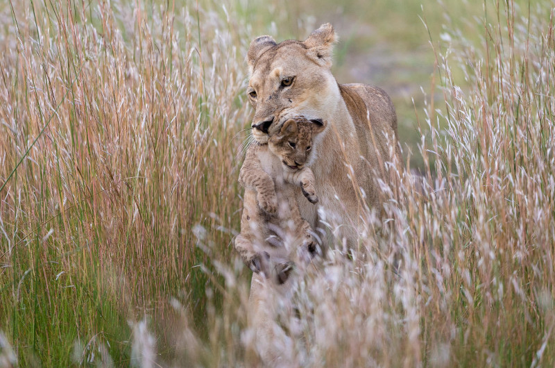 How to See a Lion for the First Time