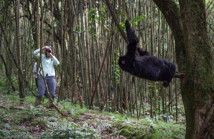 Encounters with Mountain Gorillas in Rwanda