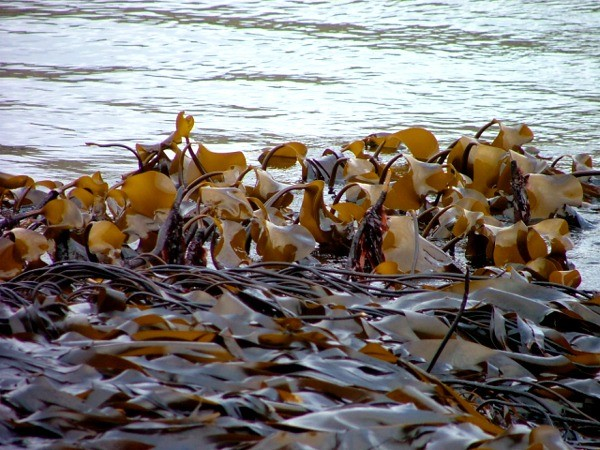 Kelp – The slimy, free beach vegetable and why you should