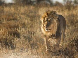 Lion Print 001 – Canvas or Block Mount