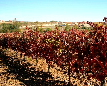 Winter in Spanish Vineyard