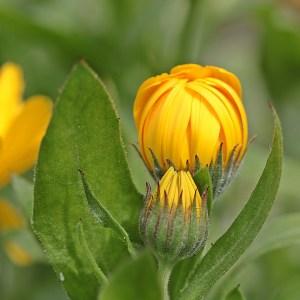 calendula buds
