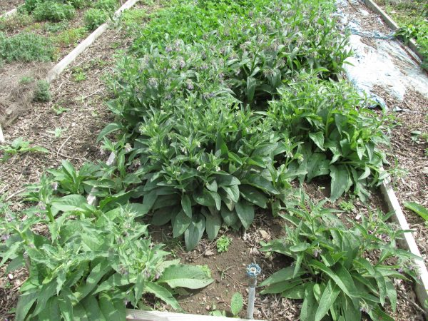 comfrey plants at Bushyhead Botanicals farm