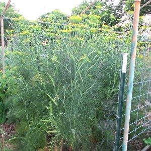 fennel plant flowering