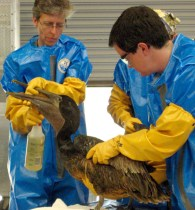 Workers clean off an oil-soaked pelican at the International Bird Rescue Center in Louisiana.