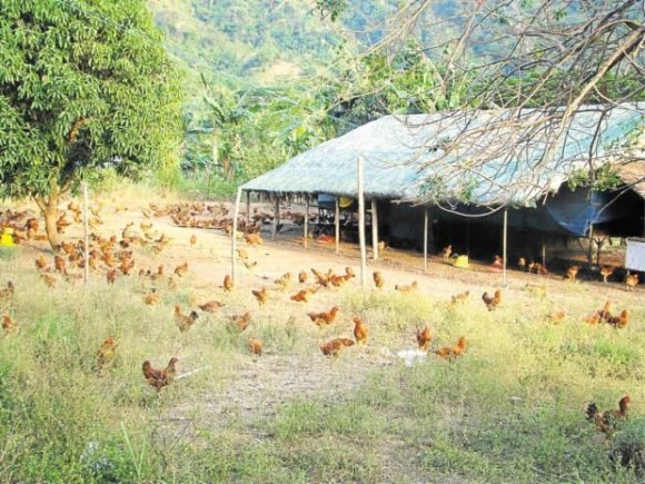 Philippines' Pamora Farms Free Range Organic Chicken