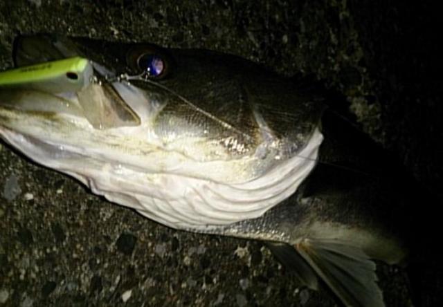 【シーバス釣り】【秋(9月、10月、11月)はランカーを釣ろう】釣り方、ポイント、人気おすすめ【ランキング】