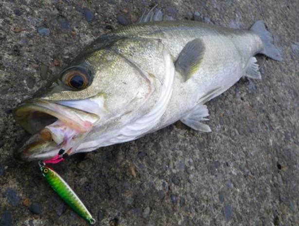 【シーバス釣りののシーズナルパターン】【春・夏・秋・冬】釣り方、パターン、人気おすすめの【ランキング】
