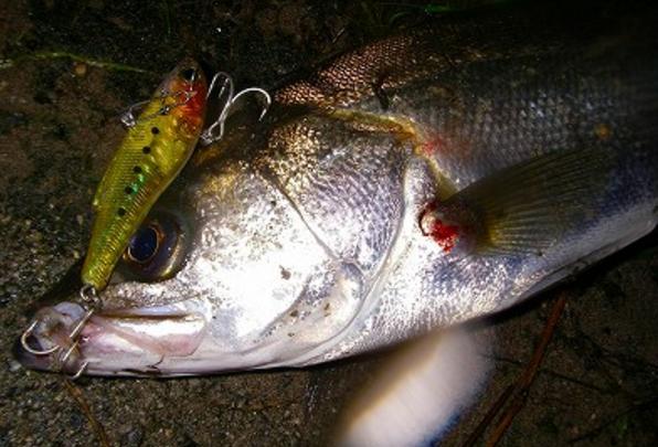【シーバス釣り】【ルアーで夜(ナイトゲーム)釣るための基礎知識】、釣り方、時期、場所、カラー、種類、人気おすすめ【ランキング】