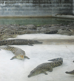 Mainland Holdings' crocodile farm in Lae exports crocodile skins to Europe