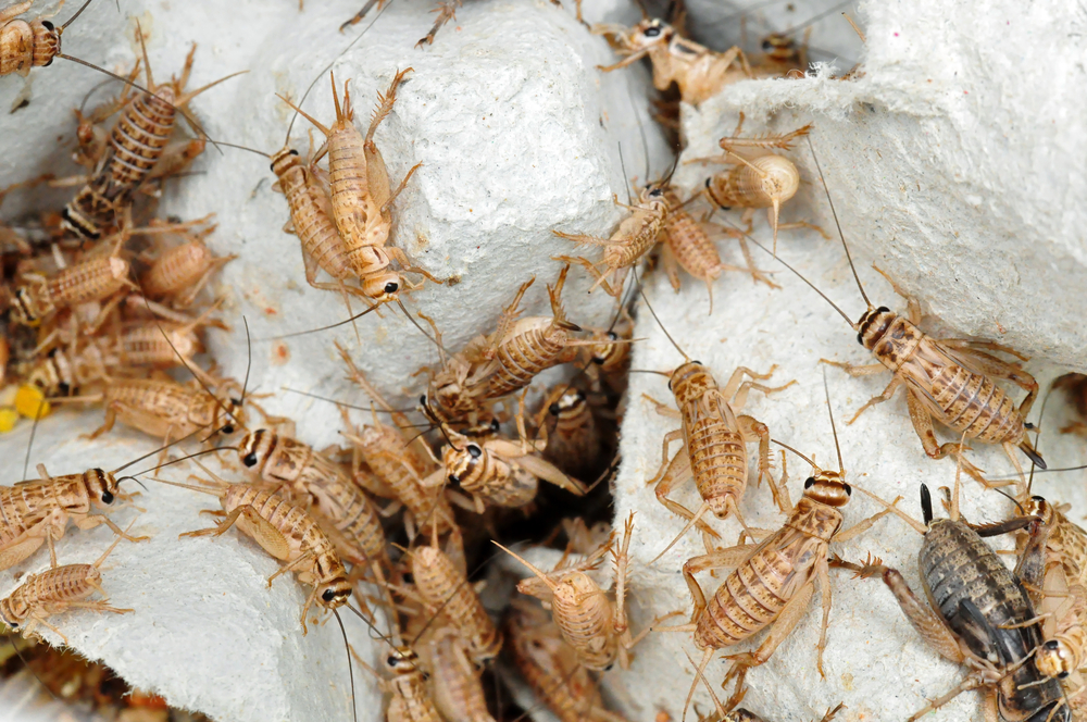 Horizon Insects founder Tiziana De Constanzo promotes cricket- and mealworm-based protein as a safe, healthy, eco-friendly meat alternative.