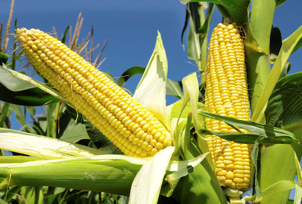 A critical look at CBNs FX restriction on maize - Businessday NG