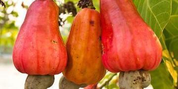 Nigerias cashews languishin warehouses as coronavirus spread hurt export - Businessday NG