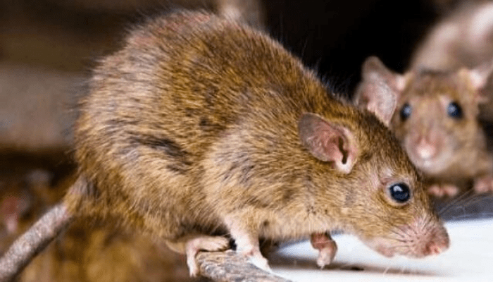LASSA FEVER: Oyo Govt Places All Hospitals On Red Alert - Businessday NG