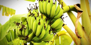 How to invest in plantain, banana plantation - Businessday NG