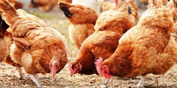 Poultry industry at risk of collapse over lockdown, farmers lament - Businessday NG