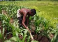 Overwhelmed by COVID-19, Nigerians face food crisis over disruptions to planting season - Businessday NG