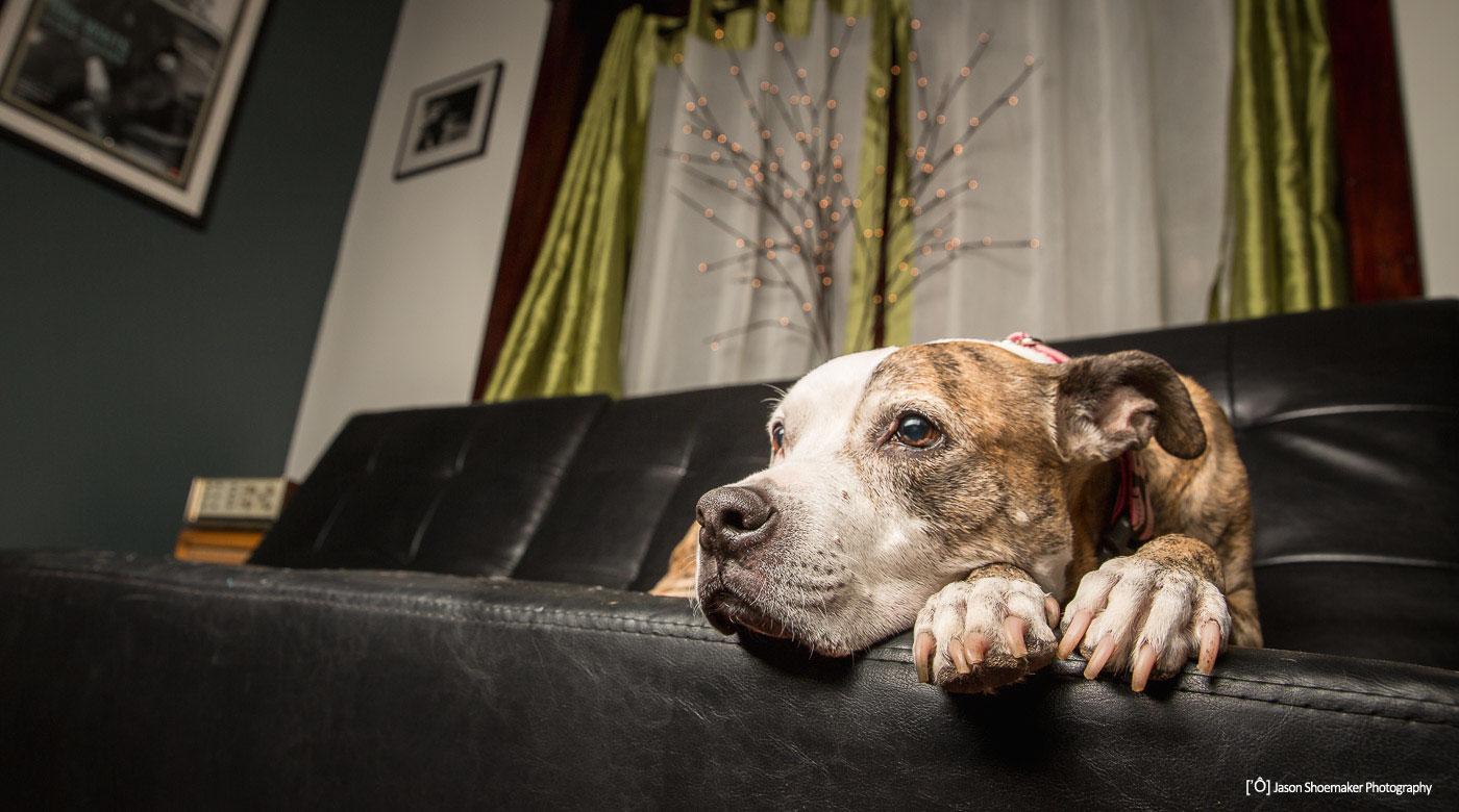 pit bull dog sitting pet sitting kansas city missouri kcmo busy paws llc