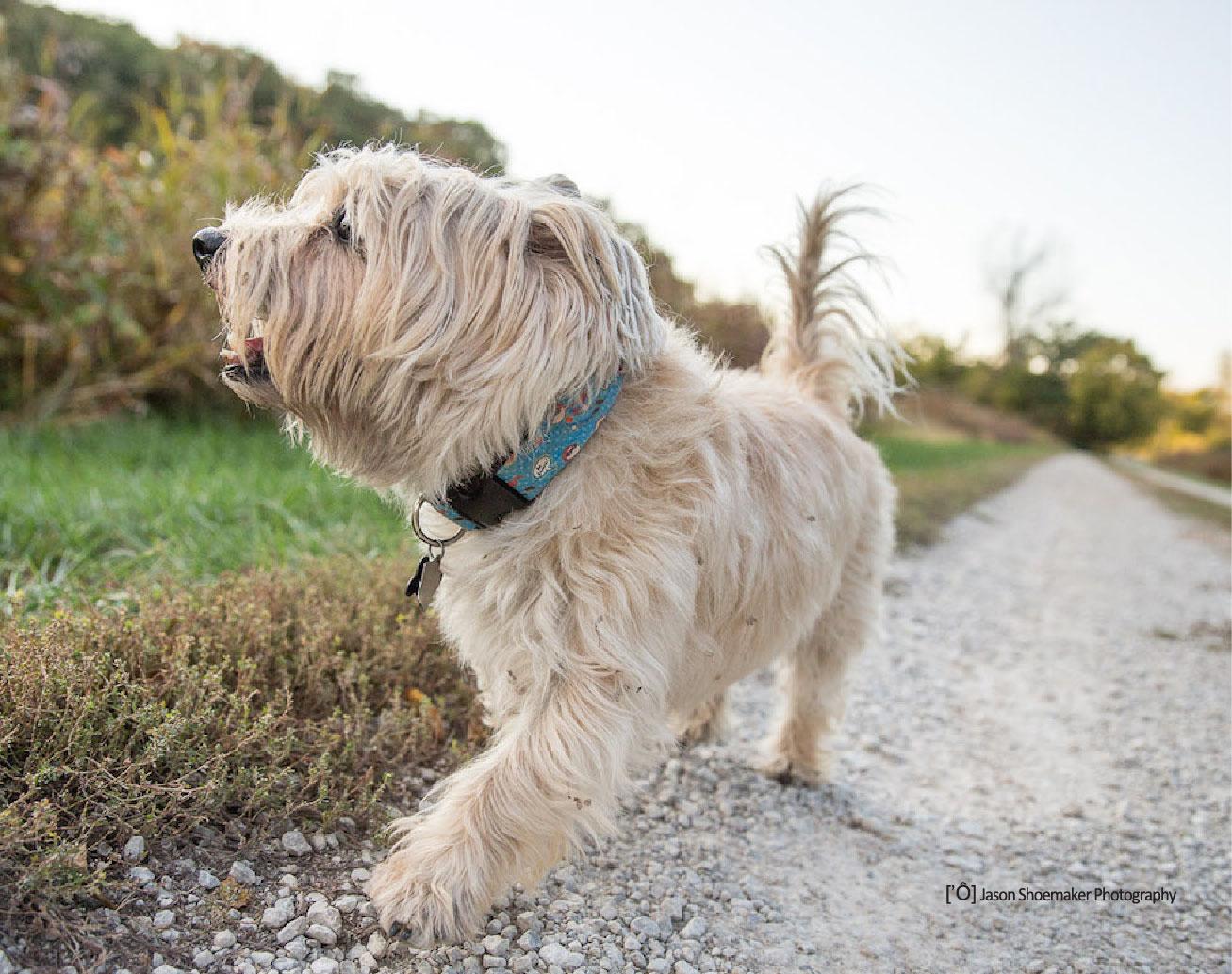 marlon dog walking kansas city dog sitting cairn terrier