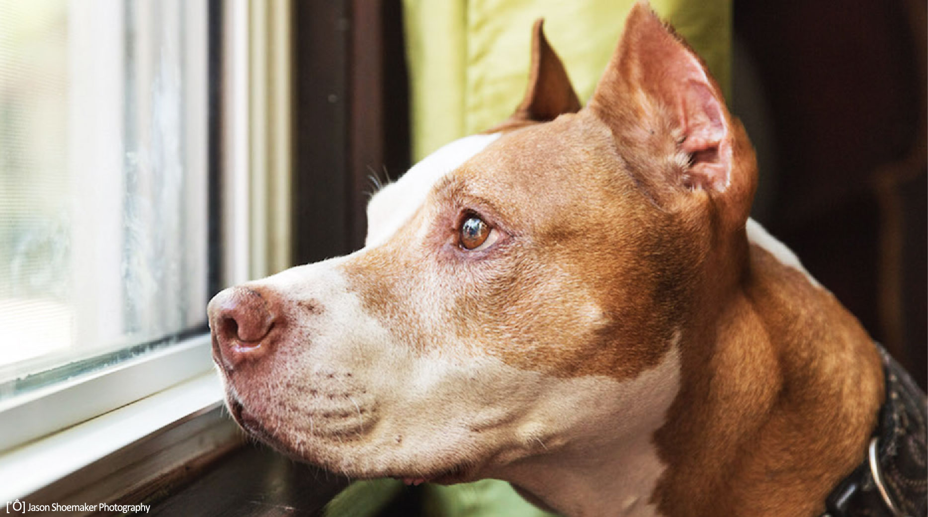rudy too pit bull kansas city pet sitting dog sitting