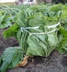 白菜 結ぶ02