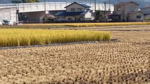 左手前の稲のある田が、「恋の予感」