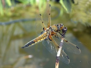 Four Spot Chaser dragonfly 2