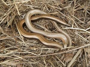 Male (paler) & female (stripe on back) slow worms