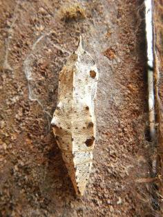Small White butterfly chrysalis