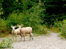 Bighorn sheep across the stream