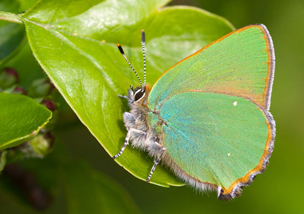 Green Hairstreak (underwing)