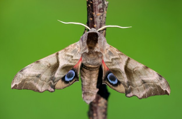 Image result for eyed hawkmoth