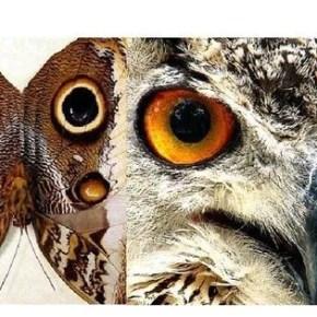 Caligo-atreus-ajax-owl-mimic-butterfly-Owl-